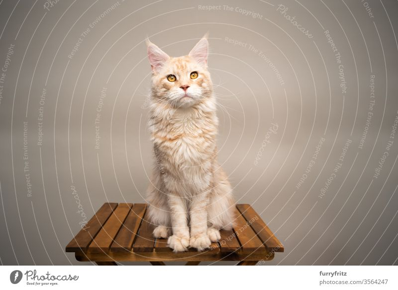 Maine Coon cat sitting on wooden table in front of beige background Cat pets purebred cat maine coon cat Ear tufts Long Tuft already Fluffy Pelt feline Table