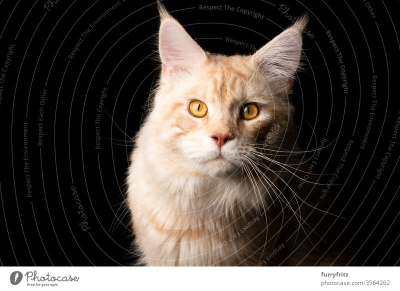 Studio portrait of a cream Maine Coon cat, isolated on black background Cat pets purebred cat maine coon cat Ear tufts Long Tuft already Fluffy Pelt feline
