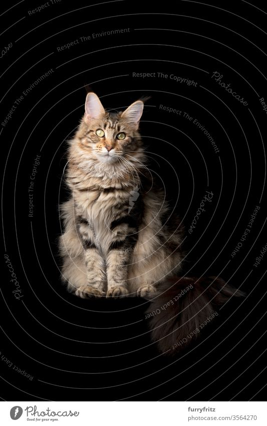 Studio portrait of a beautiful Maine Coon cat with fluffy tail, isolated on black background Cat pets purebred cat maine coon cat Ear tufts Long Tuft already