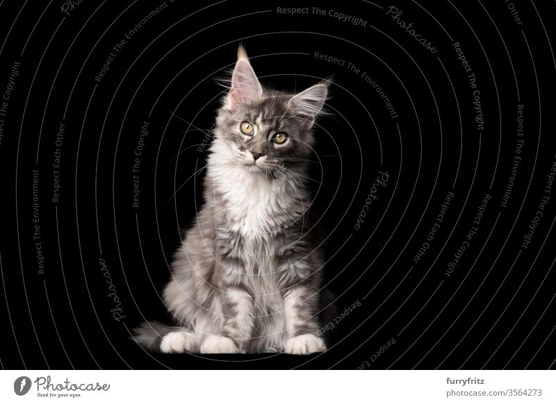 Studio portrait of a blue tabby Maine Coon cat, which looks into the camera and tilts its head Cat pets purebred cat maine coon cat Ear tufts Long Tuft already