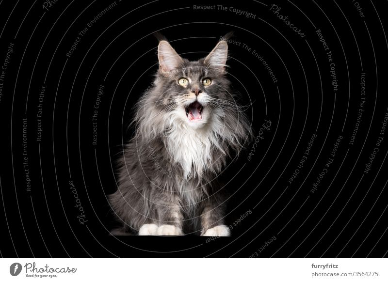 Studio portrait of a fluffy blue and white Maine Coon cat with open mouth on black background Cat pets purebred cat maine coon cat Ear tufts Long Tuft already