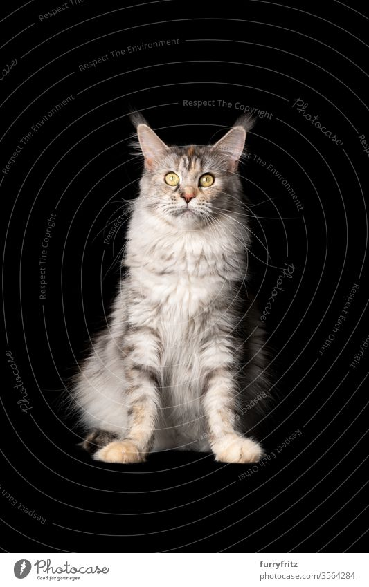 Studio portrait of a beautiful Maine Coon cat, sitting and looking into the camera, isolated on black background Cat pets purebred cat maine coon cat Ear tufts