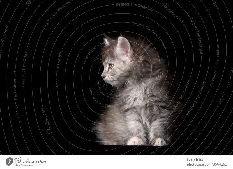 Studio portrait of an 8 weeks old Maine Coon kitten sitting and looking to the side Cat pets purebred cat maine coon cat Ear tufts Long Tuft already Enchanting