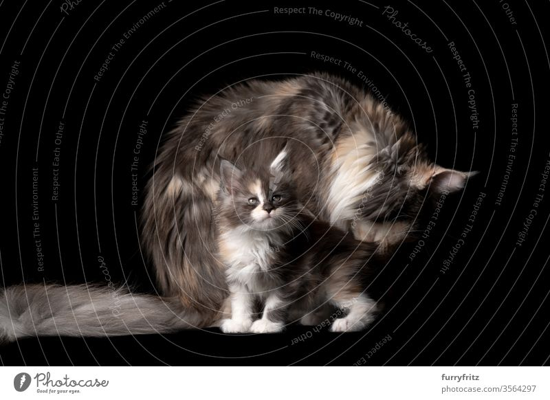 Studio portrait of an 8 weeks old Maine Coon kitten with mother cat, who is grooming her fur Cat pets purebred cat maine coon cat Ear tufts Long Tuft already