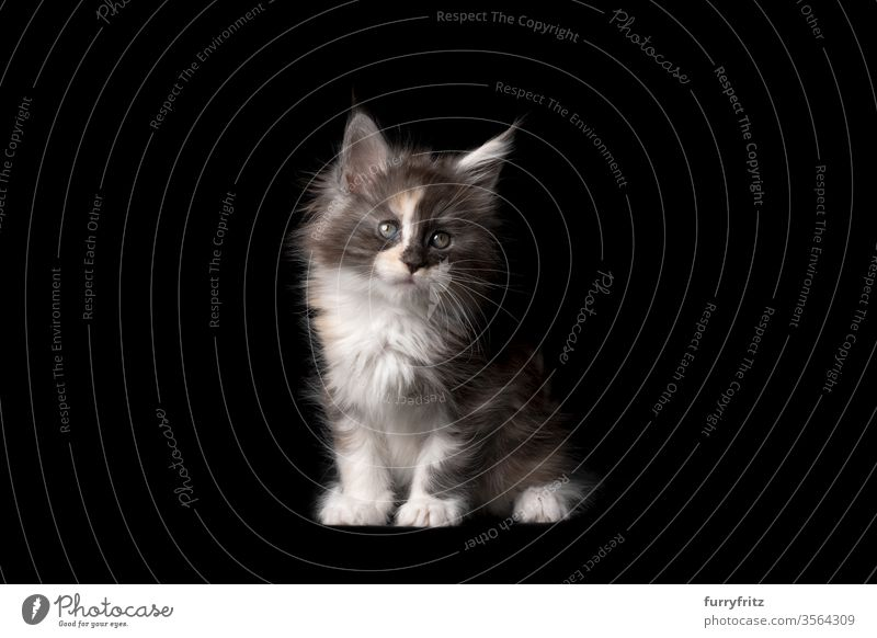 Studio portrait of an 8 weeks old Maine Coon kitten Cat pets purebred cat maine coon cat Ear tufts Long Tuft already Enchanting Cute Fluffy Pelt feline indoors