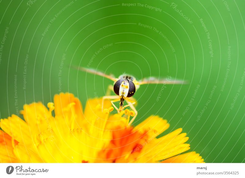 Hoverfly on yellow-orange blossom at dinner Hover fly Insect food source faceted eyes animal portrait 1 Neutral background green Orange shallow depth of field