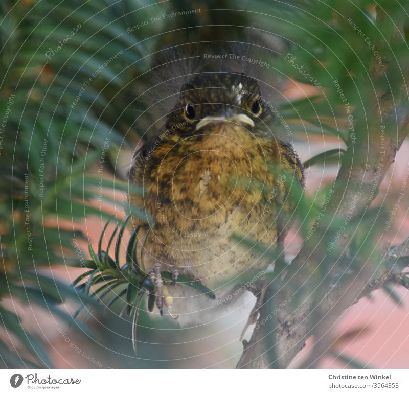 Young robin / Erithacus rubecula sitting in a yew tree and looking into the camera Robin redbreast Baby animal Looking into the camera Animal portrait Sit Cute