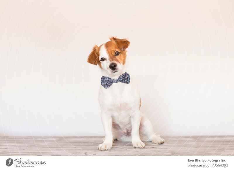 cute young small white dog wearing a modern bowtie. Sitting on the wood floor and looking at the camera.White background. Pets indoors handsome lovely tongue