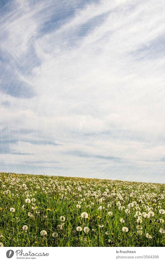 Dandelion Field dandelion puff flowers lowen tooth Meadow Willow tree spring Clouds Sky Nature Plant Colour photo Exterior shot Summer green Grass Sámen