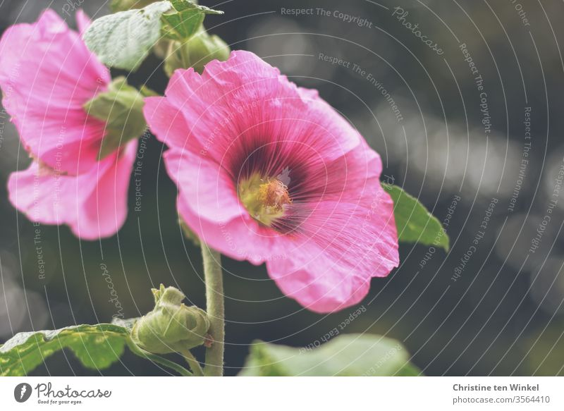 Pink flowers of a hollyhock / Alcea rosea against a dark background Hollyhock common hollyhock Cottage Peony Garden hollyhock Blossom Plant Mallow plants Nature