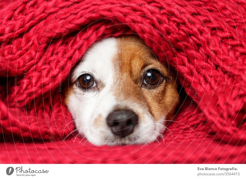 portrait of a cute young small dog looking at the camera with a red scarf covering him. White background puppy pet adorable sitting funny lifestyles white