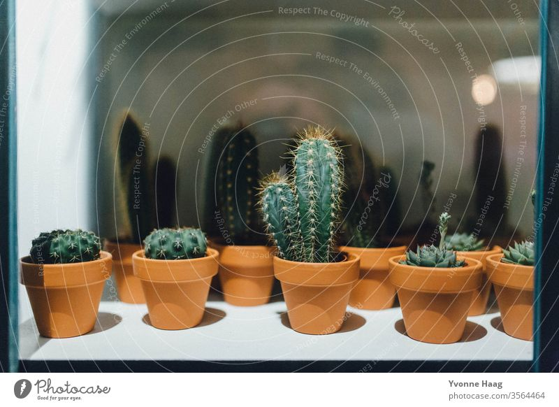 Cacti behind glass colourful Love Birthday Mother's Day Gift Carpet oriental Flowery pattern flowers Flowerpot Bouquet spring Valentine's Day bleed Nature Pink