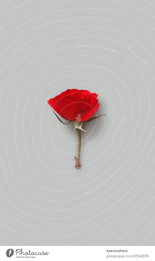 Red Rose flower on a grey background romantic red rose bright minimal top view copy space concept creative day decor decoration design floral holiday march