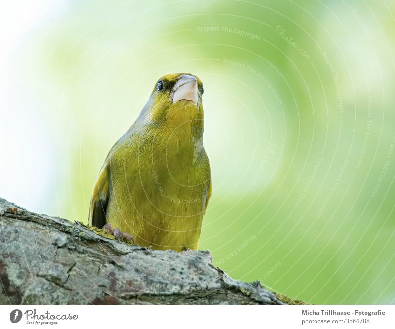 Attentive Greenfinch Green finch chloris chloris Head Beak Eyes Grand piano birds songbird Wild bird feathers plumage Legs Claw Animal Wild animal Nature