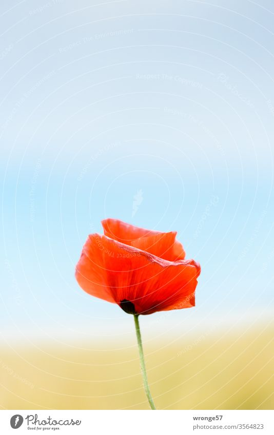 Pentecost Poppy Day Poppy blossom solitary variegated shallow depth of field Plant Nature Colour photo Exterior shot Deserted Shallow depth of field Close-up