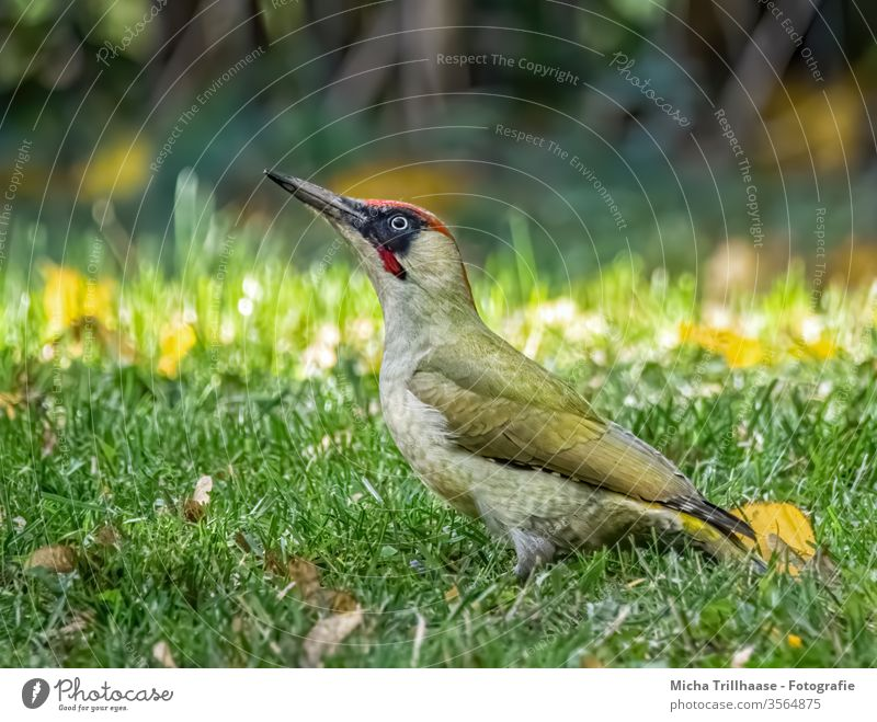 Green Woodpecker on the Meadow Green woodpecker picus viridis Animal face Eyes Beak Feather Grand piano birds Wild animal Observe Looking Illuminate Near Grass