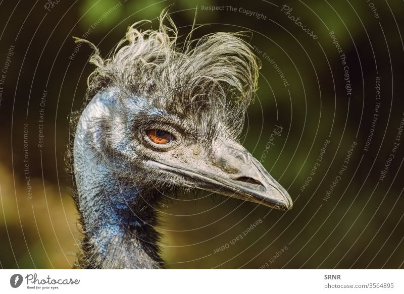 Portrait of Emu animal avian avifauna bill bird emu feathered feathery flightless native bird neck ostrich perched plumage portrait ratite