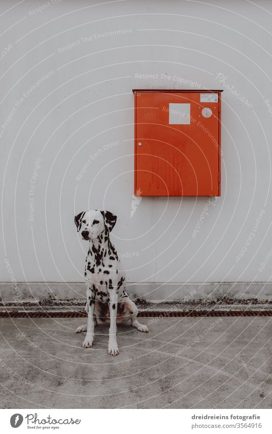 Firefighter Fire Dog Dalmatian Fire department Fire fighting dog New York City Lifesavers Sit Wait observantly watch NYC Red red box Emergency cabinet