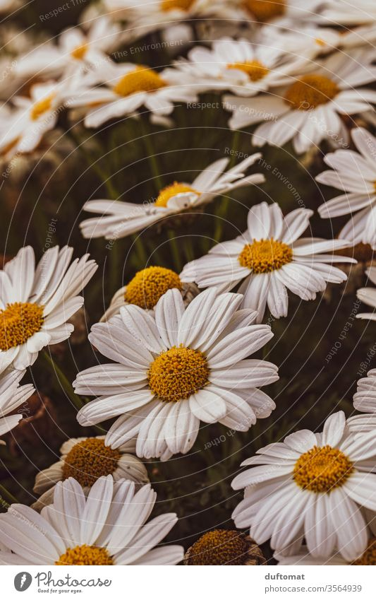 A sea of daisies Marguerite marguerites Nature flowers Balcony Plant Growth Summer Beauty & Beauty Macro (Extreme close-up) bleed Blossoming Fragrance
