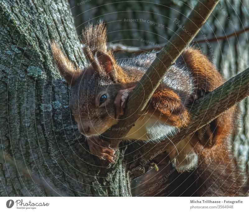 Slumbering squirrel in a tree Squirrel sciurus vulgaris Animal face Head Eyes Nose Ear Muzzle Claw Pelt Rodent Wild animal Nature Sunlight Beautiful weather