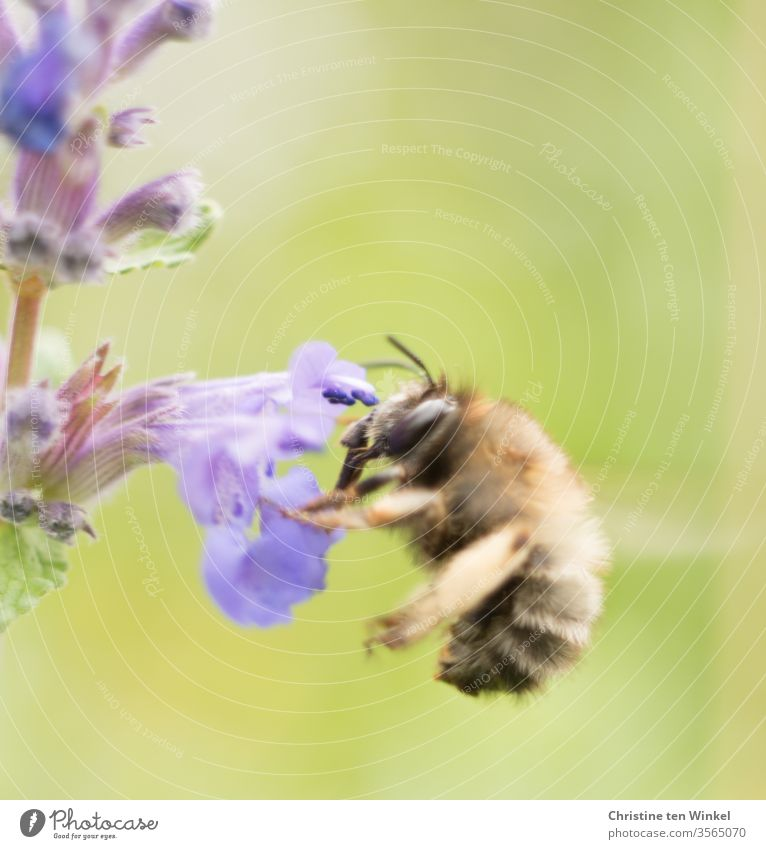 Bee on a purple flower of catnip Insect Nature Macro (Extreme close-up) Close-up bleed flowers Pollen Animal Nepeta Plant shrub Garden Colour photo Wild animal