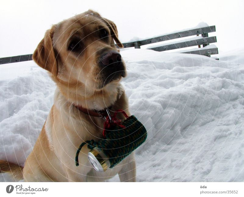 beer dog Dog Labrador Winter Beer Tin Delivery person Neckband Snow Dog collar