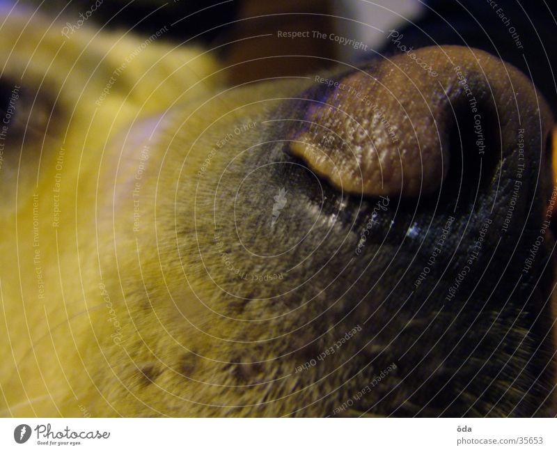 Dark Hair and hairstyles Dog Nose Damp Muzzle Labrador