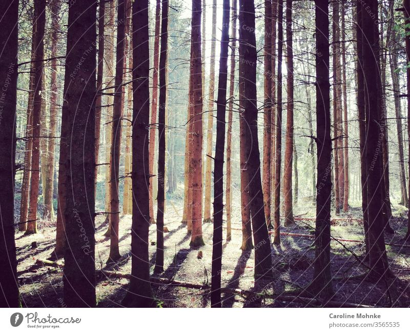 Trees in the forest illuminated by the afternoon sun Forest tree Nature green Exterior shot Colour photo Plant Day Deserted Environment Landscape natural Brown