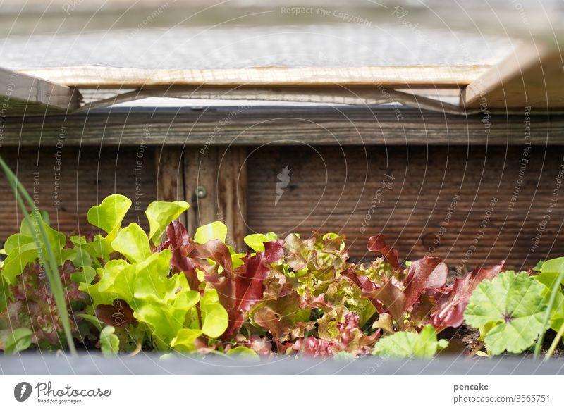 daheim Salatpflanzen Garten Hochbeet Schutzhaube Holz grün Selbstversorger Pflanzen wachsen