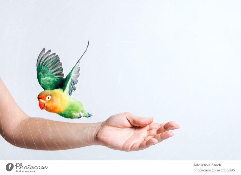 Little colorful parrot on female hand bird lovebird little cute avian exotic tropical fauna beak wild bright vivid animal vibrant adorable show demonstrate