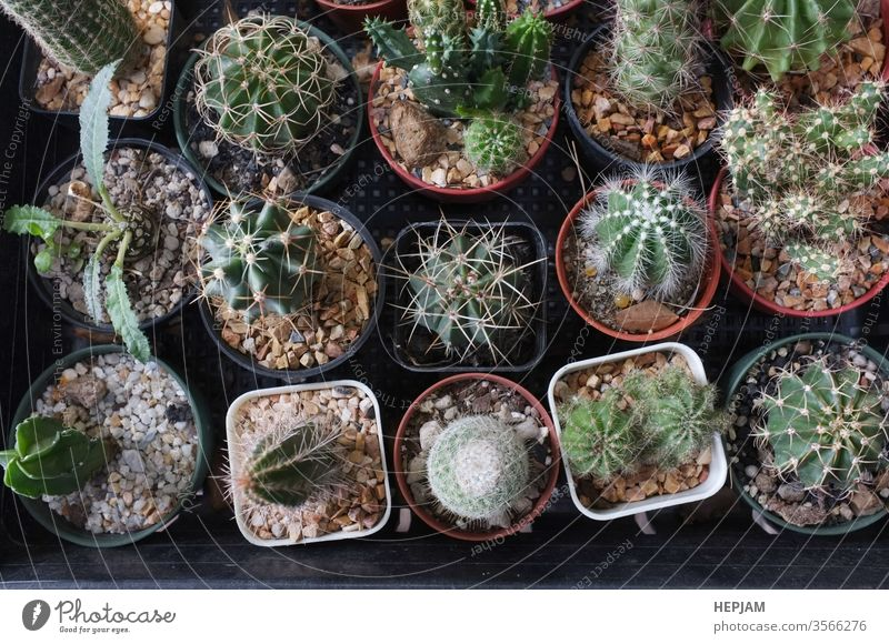 Top view , Collection of various cactus and succulent plants in different pots. space for your text background beautiful blooming botanical botany cactaceae