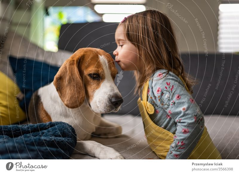 Dog with a cute caucasian baby girl. Beagle lying on sofa, baby comes and give a kiss in dogs forehead. beagle love little inside home person pet female