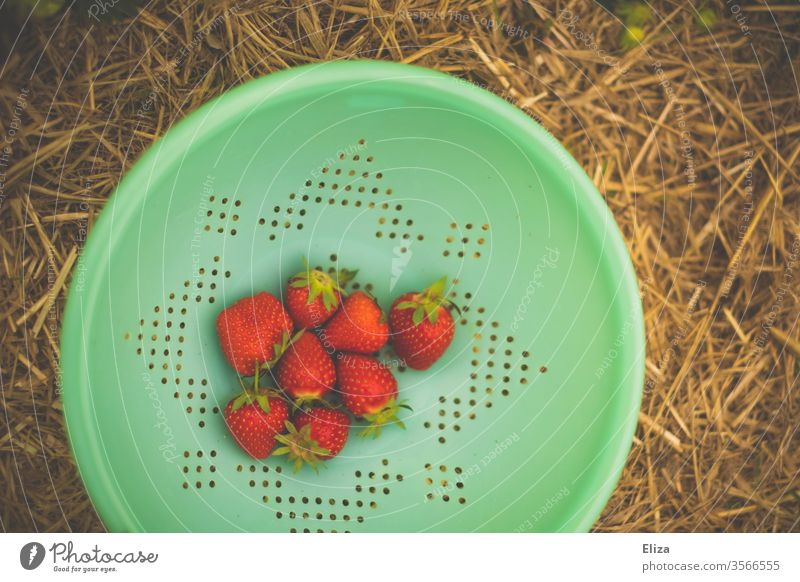 Strawberries in a turquoise sieve Strawberry amass Sieve Field Delicious reap Pick strawberry field fruit Red Harvest Fresh Nature Mature Food Vitamin Fruity