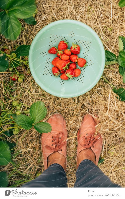 A person is standing in the strawberry field in front of a bowl of fresh home-picked strawberries Strawberry Time Harvest regionally Pick amass Fresh Red