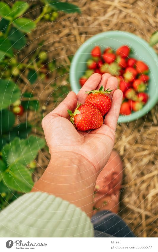 A person holds home-picked strawberries in his hand in the strawberry field Strawberry Mature self picking pick your own oneself Field Tavern regionally