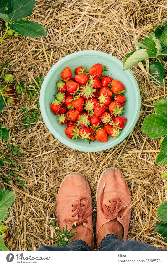 A person is standing in the strawberry field in front of a bowl of fresh home-picked strawberries Strawberry Strawberry Time amass feet Mature Field garnered