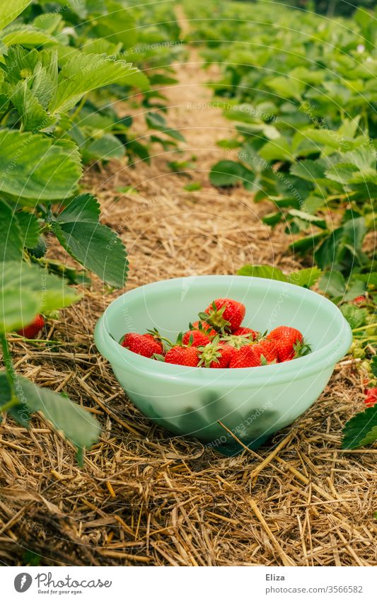 A bowl of home-picked strawberries between strawberry bushes in a strawberry field Strawberry Strawberry bushes Picked garnered reap Delicious Red Field out
