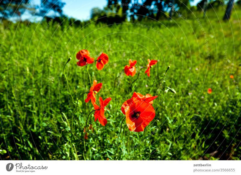 poppy Poppy Trip meadow plant poppy flower blossom Blossom leave out flora Horizon Poppy blossom Nature Summer Stamp Meadow Red Willow tree Park