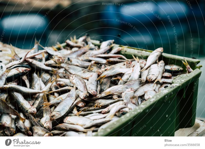 Many freshly caught silver fish on a pile in a box fishing Captured Fresh Fishery Flake Silver Fish market Crate Dead animal Close-up Nutrition bustle