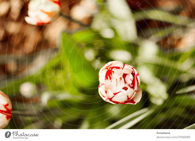 A white-red Tulip blooms against a background of green foliage. Tulip, close-up, top view spring flower tulip day beauty plant nature garden petal floral fresh
