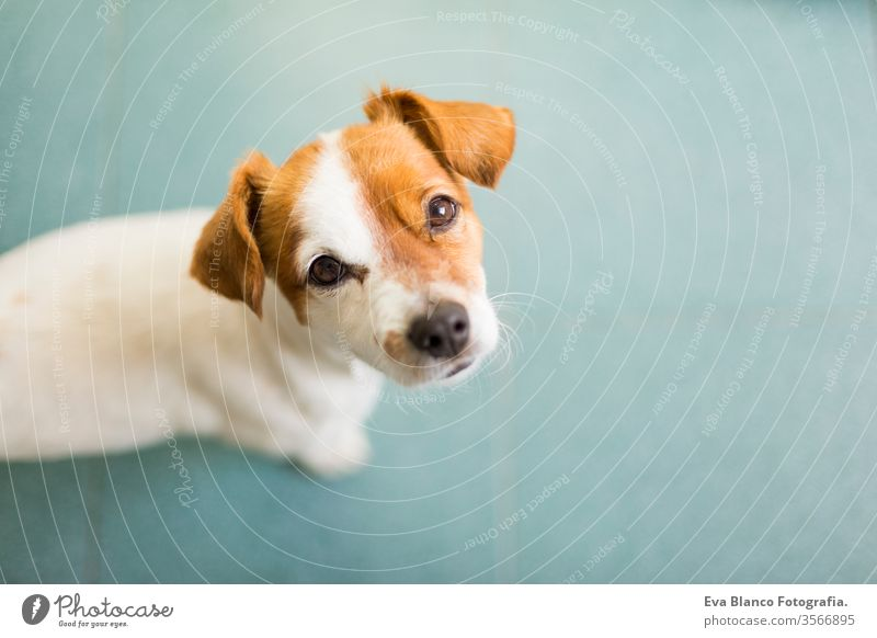 portrait of a cute small dog looking at the camera. Green floor background. Top view. Pets indoors. nose smile waiting isolated mouth happy canine funny one