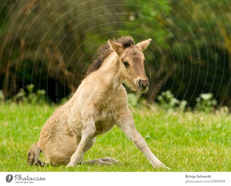 A pretty and cute dun horse foal of an Icelandic horse is trying to get up from the green meadow, very clumsy animal Bangs dun colored grass pelt sun jump