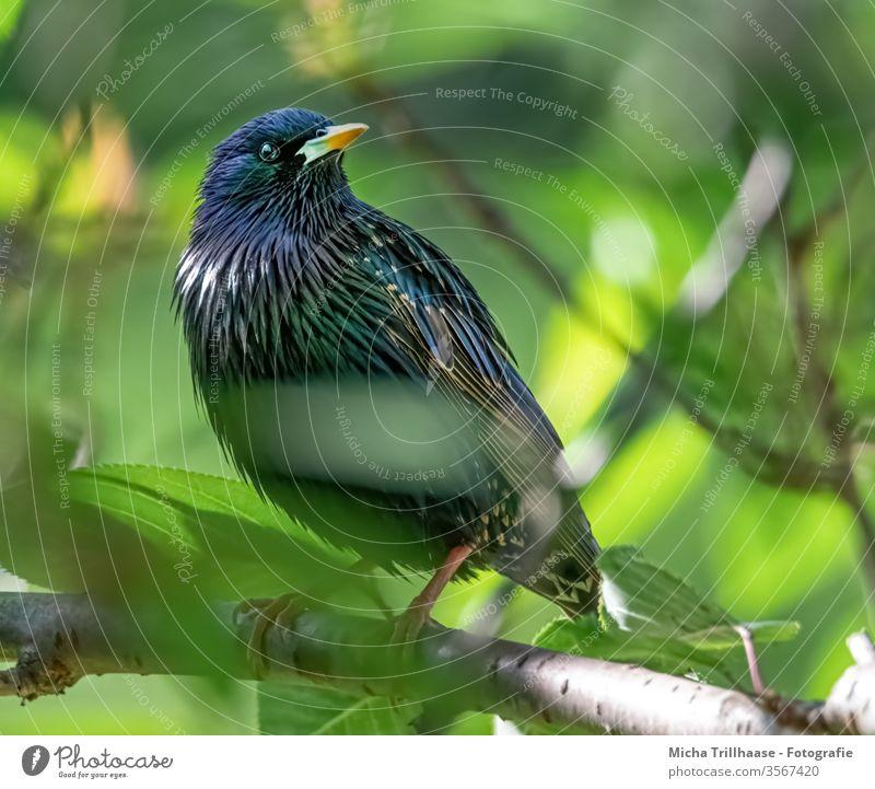 Star in a tree Starling Sturnus vulgaris birds Animal face Beak Eyes Grand piano Feather Claw Wild animal Nature Head plumage Glittering Brilliant branches