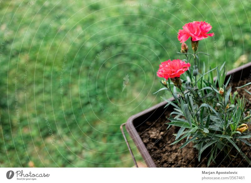 Beautiful red carnation in the flowerpot in the yard background backyard beautiful beauty bloom blooming blossom bright carnations closeup color colorful copy