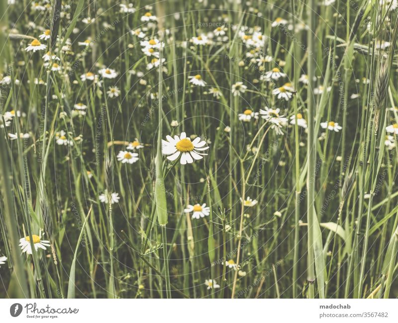 Daisies or chamomile Meadow Blimen Nature Grass Summer Plant flowers green Environment bleed spring Daisy Blossoming Deserted Flower meadow Colour photo Growth