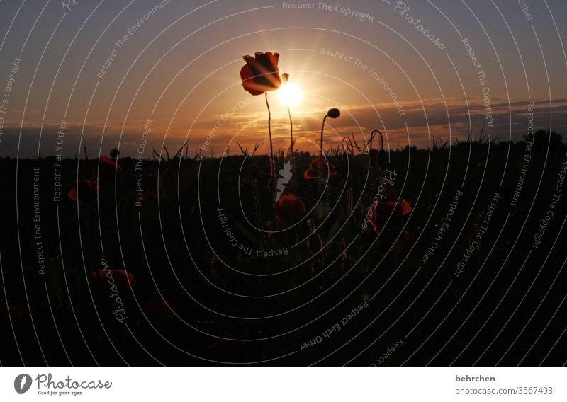 mo(h)nday sunflower poppy flower Evening Landscape Poppy Poppy blossom poppies flowers bleed fragrant Fragrance Summer spring Back-light Sunset Sunlight Field