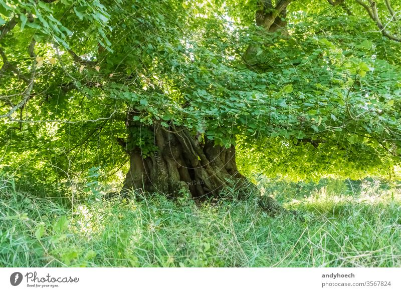 Thousand year old linden tree with the treetop full of green leaves stem 1000 durable monument outlast annual years branch bark copy space ecology environment