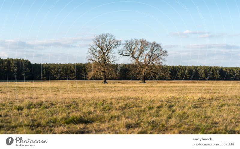 Old two trees on a dry meadow in front of a forest remote beautiful big blue branch clouds color colorful country countryside day empty environment europe field