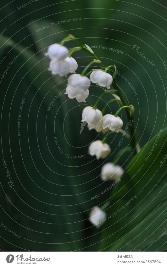 lily of the valley Convallaria majalis Lily of the valley Penumbra Shadow spring spring bloomers Undergrowth bleed White detail closeup flowers Delicate Odor