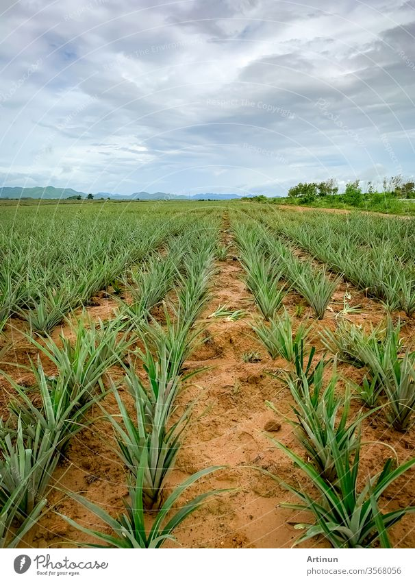 Pineapple plantation. Landscape pineapple farm and mountain. Plnat cultivation. Growing pineapple in organic farm. Argiculture industry. Green pineapple tree in field and white sky and clouds.